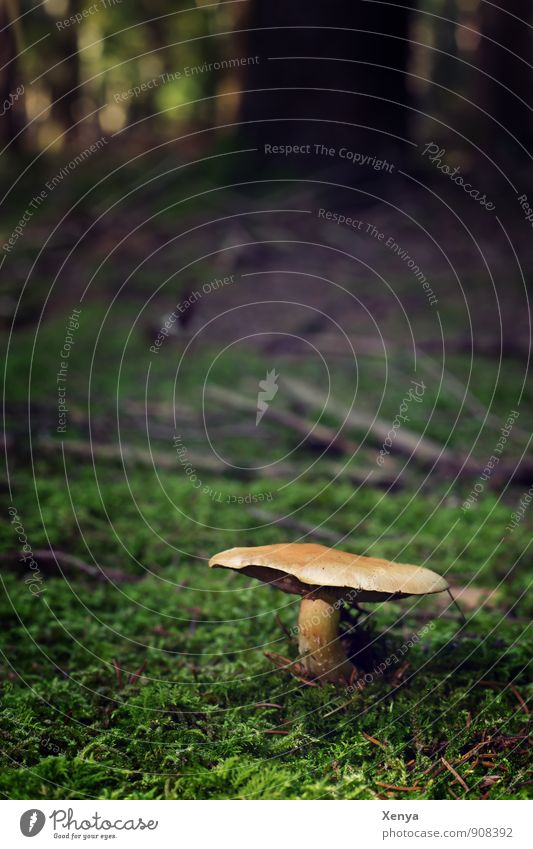 Mushroom in the forest Environment Nature Landscape Autumn Forest Brown green Black Moss forest soils Mushroom cap tree Autumnal Stand Growth Exterior shot