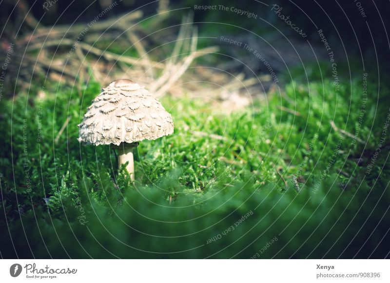 In the forest there are the ... mushrooms Environment Nature Plant Mushroom Forest Green White Mushroom cap Beatle haircut Moss Small Growth Poison Edible