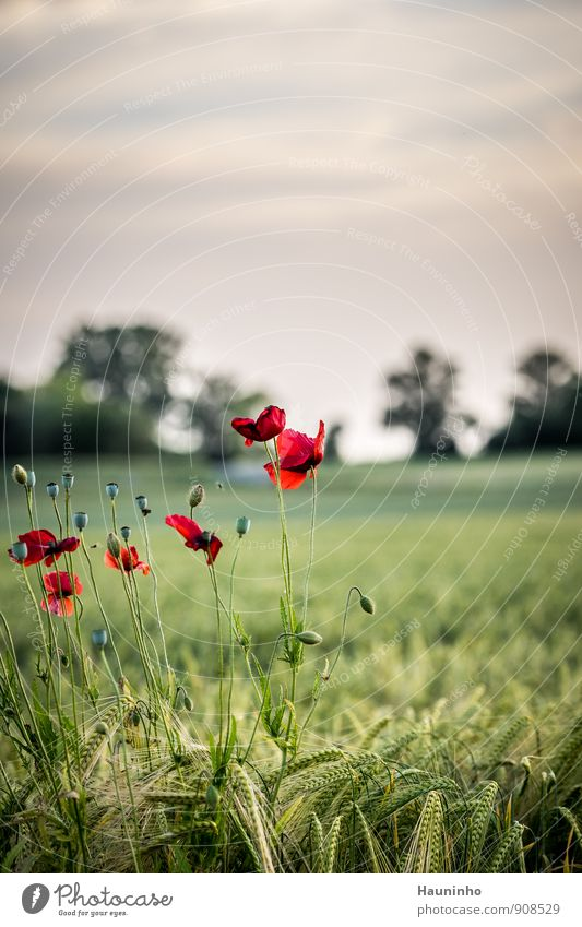 wild poppy Environment Nature Landscape Plant Animal Sky Clouds Sunrise Sunset Sunlight Summer Climate Beautiful weather Tree Flower Grass Leaf Blossom