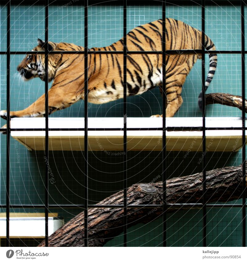 pixelated I Tiger Zoo Animal Sleep Cage Grating Grief Captured Paw Environmental protection Living thing Shows Land-based carnivore Big cat Masculine Pelt