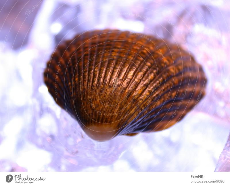 seashell Mussel Violet Macro (Extreme close-up) Close-up Ice