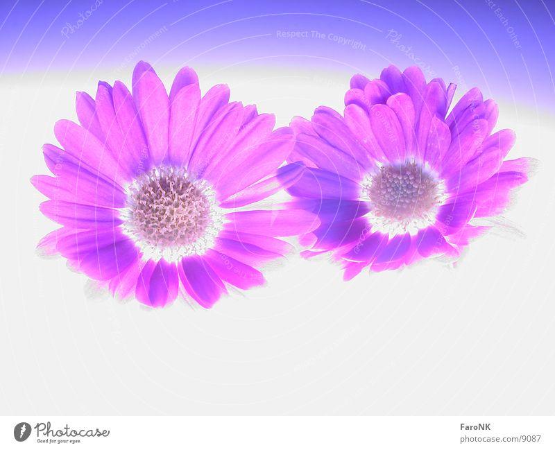 Plant Blossom Aster