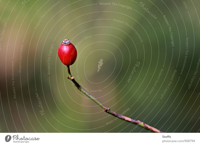 Rosehip as single rose hip berry Rose hip Wild plant Berries naturally Green Red Sense of Autumn October Early fall Leafless Loneliness Being alone Single