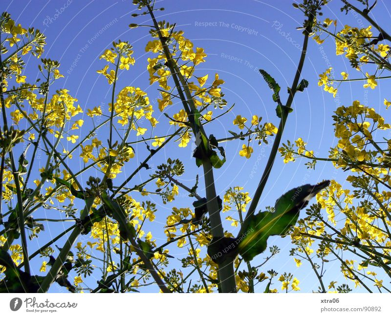 Plant Summer Yellow Blossom Spring Field Environment Energy industry Stalk Blossoming Oil Organic produce Canola Canola field