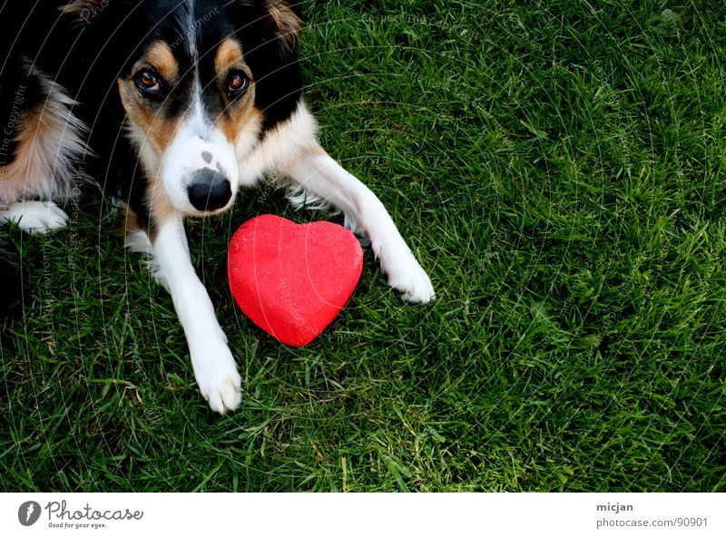 Simply love Dog Collie Animal Love Beg Looking Puppydog eyes Red Brown Black White Tricolour 3 Green Grass Meadow Long Pelt Summer Sincere Paw Sweet Cute