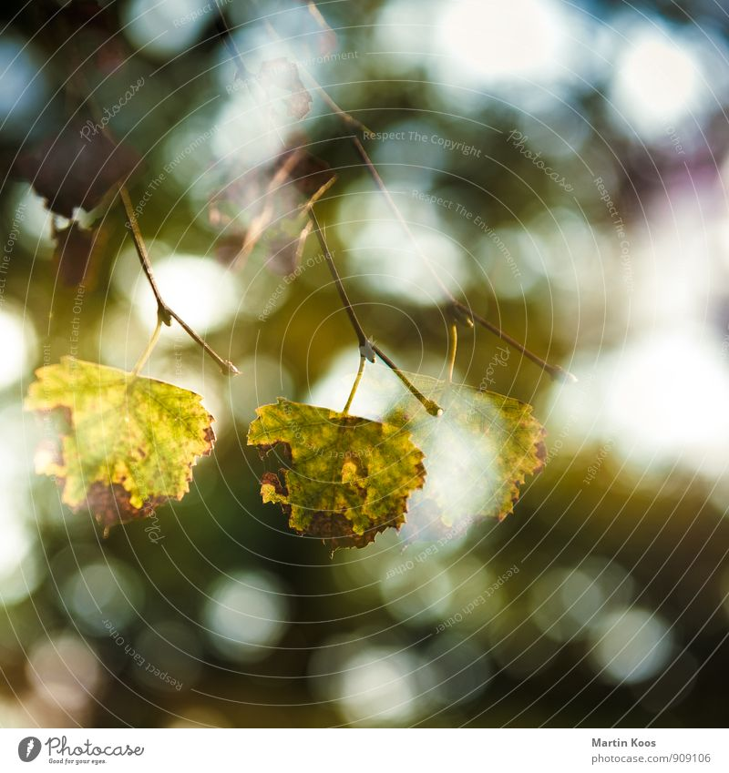 foliage Environment Nature Plant Tree Leaf Old Blossoming Esthetic Transience Growth Change Twig Double exposure Square Autumnal Autumn leaves Autumnal colours
