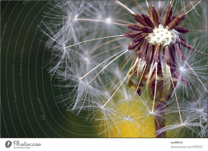 Flower Green Plant Summer Joy Yellow Meadow Spring Garden Air Wind Flying Aviation Blossoming Dandelion Blow