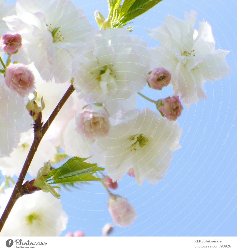 Sky Blue Green Beautiful White Sun Spring Blossom Garden Pink Park Growth Fresh Multiple Branch Blossoming