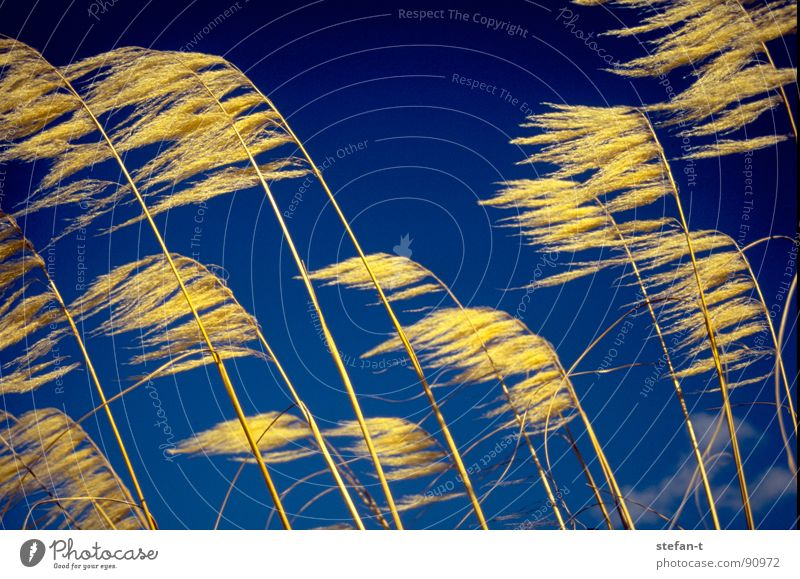 wind New Zealand Grass Blown away Blade of grass Yellow Moody Blue Diagonal Thread Thread-like Physics Dry Summer prairie grass Orange Contrast Wind stylized