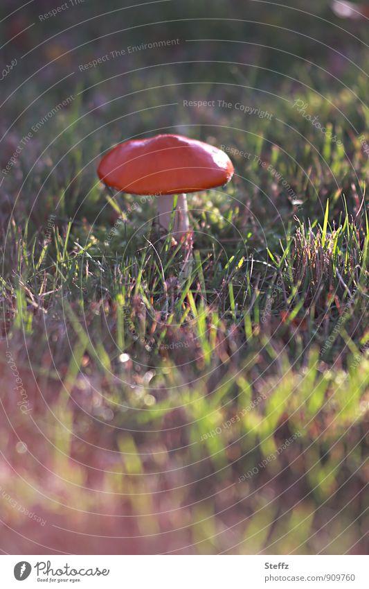 striking on the lawn Environment Nature Autumn Beautiful weather Plant Grass Wild plant Mushroom Amanita mushroom Mushroom cap Meadow Natural Green Red