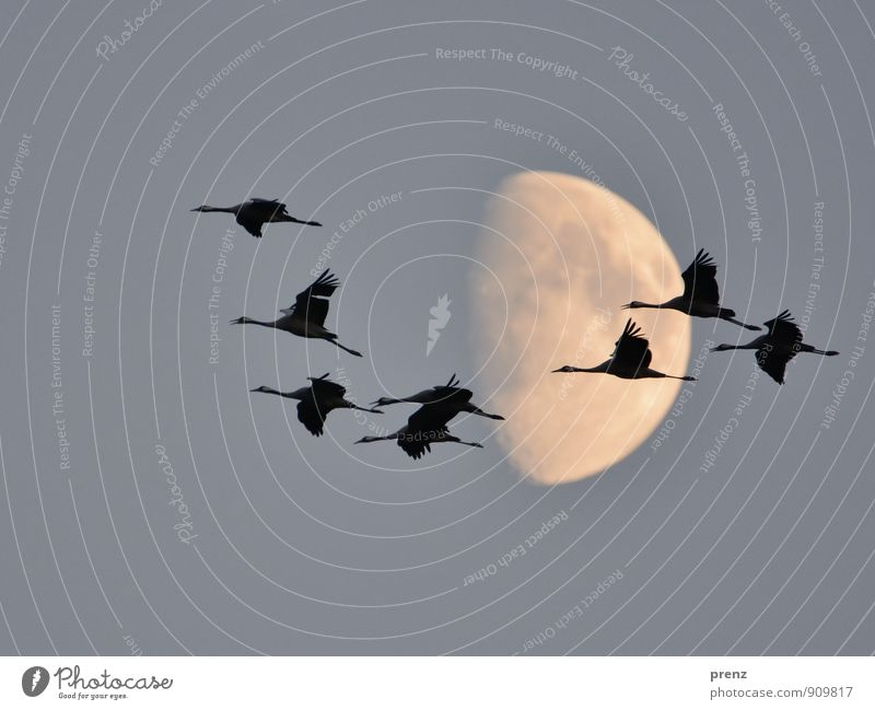 eight Environment Nature Animal Moon Autumn Wild animal Bird Group of animals Flock Gray Black Crane Flying Floating 8 Stork village Linum Colour photo