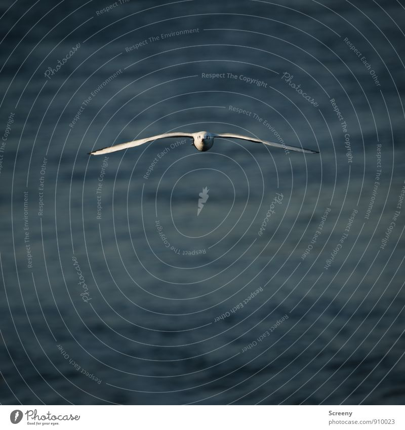 Attention, clear! I'm coming! I'm coming! Nature Plant Animal Water River Bird Seagull 1 Flying Esthetic Elegant Blue Gray White Serene Self Control Right ahead