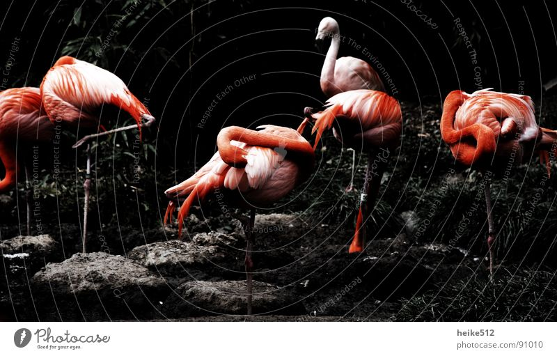 Beautiful Red Calm Contentment Bird Pink Arrangement Feather Clean Cleaning Cozy Neck Pole Animal Flamingo