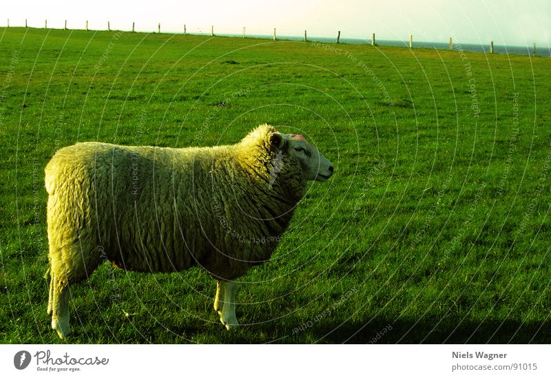 Germanys Next Superschaf Sheep Green Ocean Field Meadow Wool Animal Fence Clouds Wool sweater Sun Hill Dike Habitat Nature reserve Baltic Sea Feet Posture