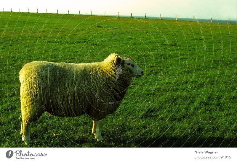 Sun Ocean Green Clouds Animal Meadow Feet Field Earth Posture Hill Fence Baltic Sea Sheep Wool Dike
