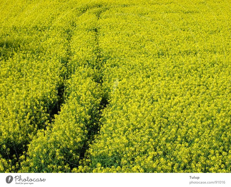 trace of rape Canola Yellow Tracks Tractor track Plant Canola field Oil Nature