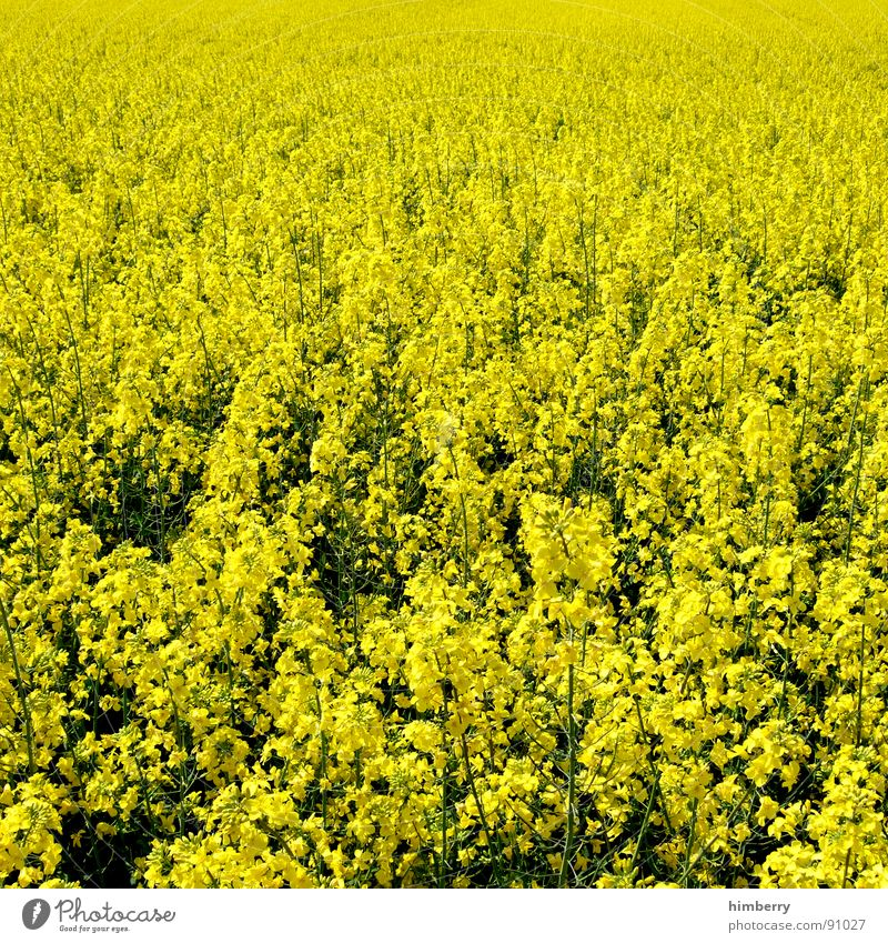 go yellow Canola Plant Gasoline Diesel Bio-diesel Field Blossom Yellow Agriculture Spring Organic produce Nature Oil