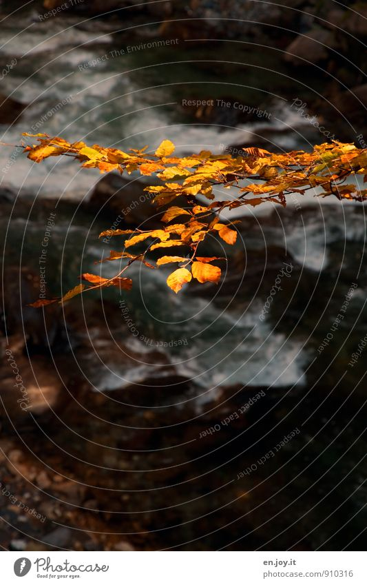 gold leaf Nature Water Autumn Leaf Branch Twig River Yellow Black Sadness Grief Seasons Autumnal Autumn leaves Colour photo Subdued colour Exterior shot