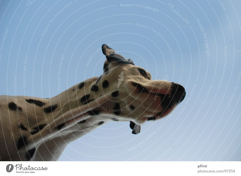 Dog from below - 7 Dalmatian Pet Animal Spotted Pelt Worm's-eye view Snout Patch Mammal chien enzo dalmation white black Sky Point Blue