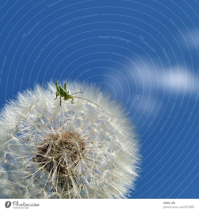Come on, kid, hop! Dandelion Jump Small Diminutive Green Hop Meadow Field Feeler Joy Locust swab umbrella ticklish