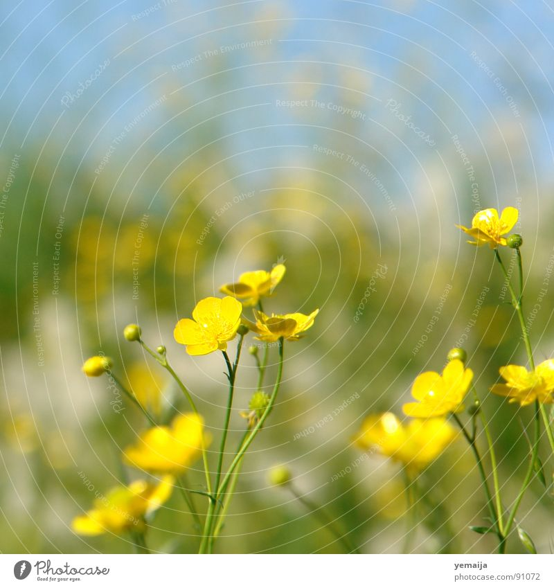 ranunculus acris Yellow Flower Blossom Grass Blade of grass Spring Summer Summery Fresh Background picture Juicy Flower meadow Meadow Green Crowfoot Buttercup