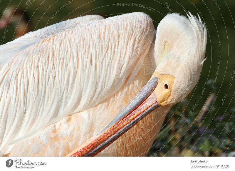 great pelican preening Elegant Beautiful Zoo Nature Animal Bird Wild Yellow White Purity Idyll Great Pelican Feather wildlife water Beak head eye