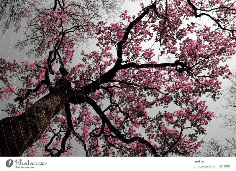 pink lady Tree Romance Mystic Fantasy literature Pink Eerie Wonder Gray Dark Grief Distress Autumn Sky Upward Tree trunk Branch Magic magic tree Sadness