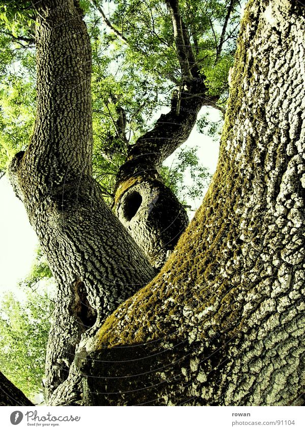 Old Tree Green Leaf Spring Wood Power Large Force Climbing Branch Trust Strong Hollow Treetop Twig