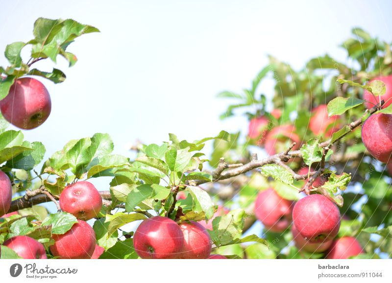 ripe for picking Fruit Apple Nature Plant Sky Autumn Tree Leaf Agricultural crop Apple tree Garden Growth Fresh Healthy Juicy Sour Sweet Many Red Colour