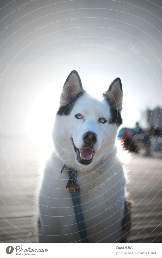 Most loyal companion Animal Pet Dog Animal face Pelt Husky 1 Observe Smiling Looking Wait Athletic Exceptional Beautiful White Contentment Loyalty Peaceful