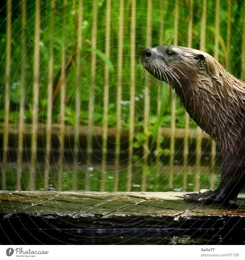 Water Animal Swimming & Bathing Walking Wet Pelt Dive Mammal Australia Snout Presentation Land-based carnivore Otter