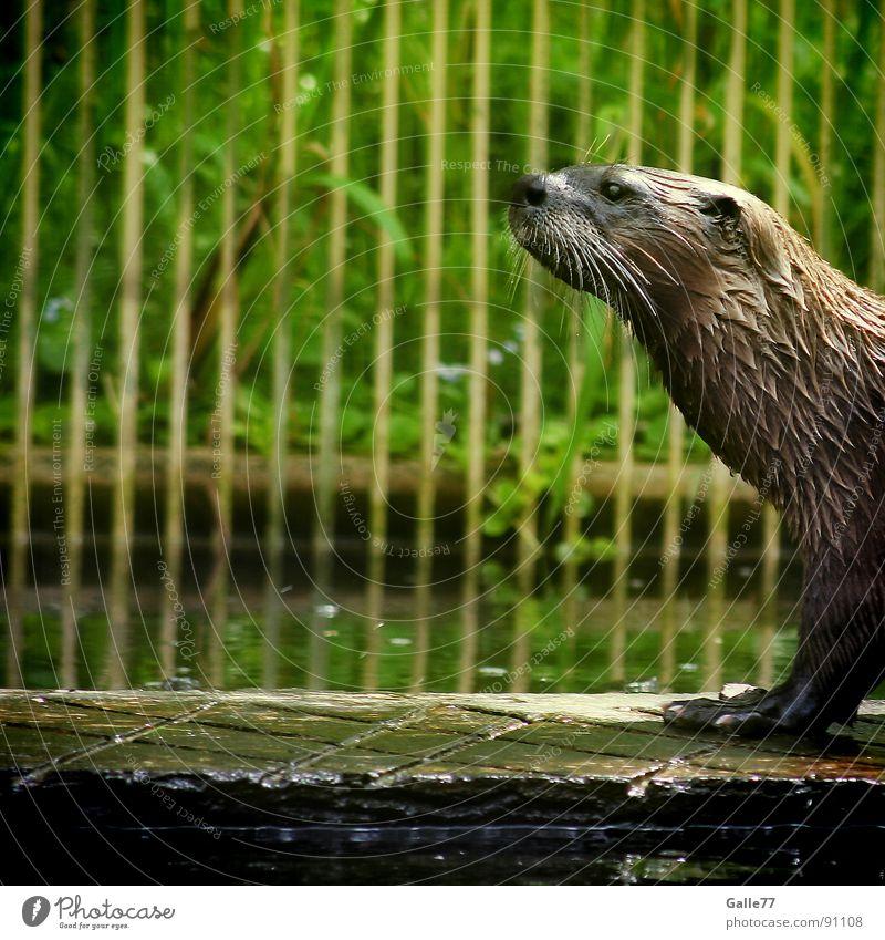 Water Animal Swimming & Bathing Walking Wet Pelt Dive Mammal Australia Snout Presentation Land-based carnivore Otter