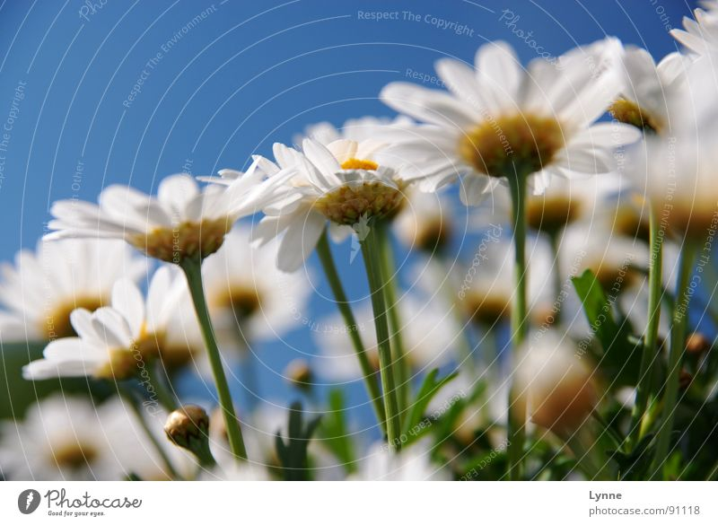 summer feelings Flower Blossom White Green Summer Spring Blue Bud margarite Nature Sky Marguerite