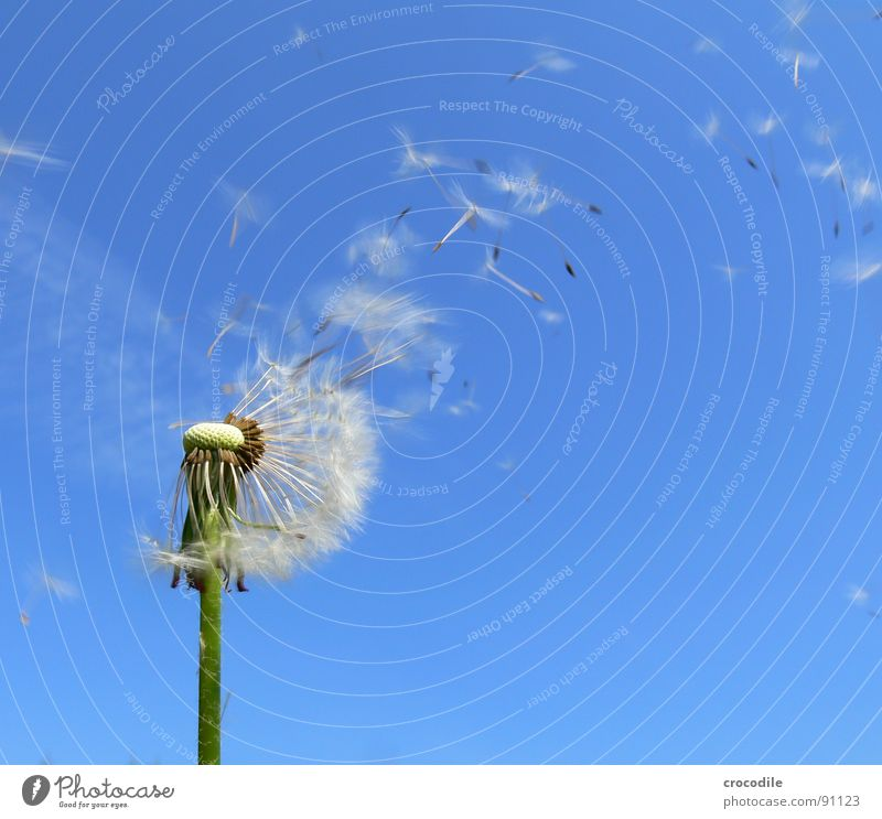 Sky Flower Blue Spring Freedom Flying Stalk Blossoming Dandelion Beautiful weather Seed Hover