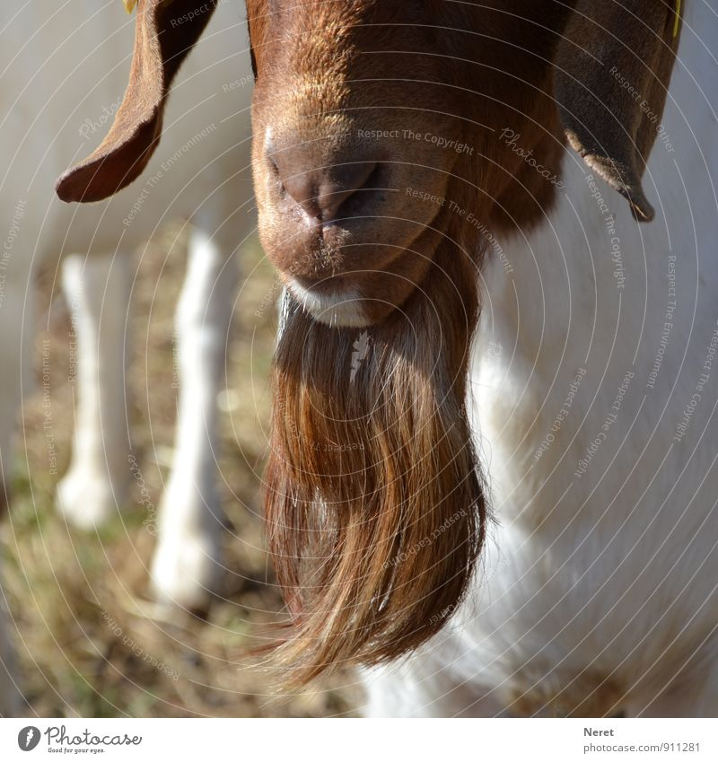 Real goatee beard! Animal Pet Farm animal He-goat 1 Facial hair Hang Authentic Natural Brown Colour photo Exterior shot Detail