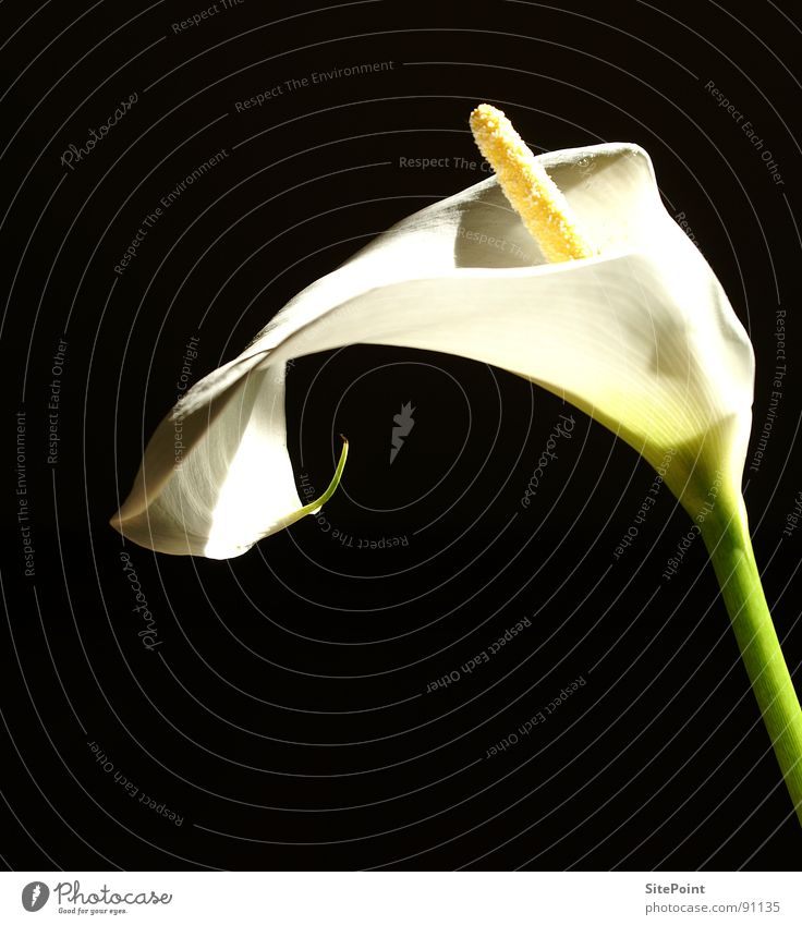 Calla in the light Flower White Light Black Blossom Garden Park