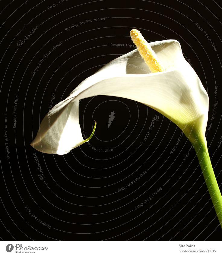 White Flower Black Blossom Garden Park Calla