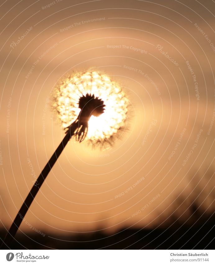 Glowing Blowball Flower Blossom Stalk Dandelion Pistil Sun Sky Seed Peter funny counterfeit