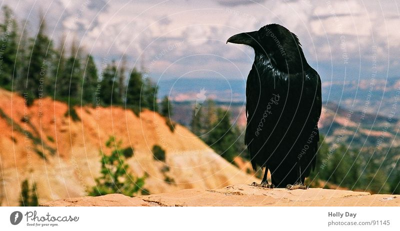 A raven... Bird Black Crow Clouds Raven birds Wheat Vantage point Beak Evil Summer Bryce Canyon USA Sit Death Orange Trees in the background