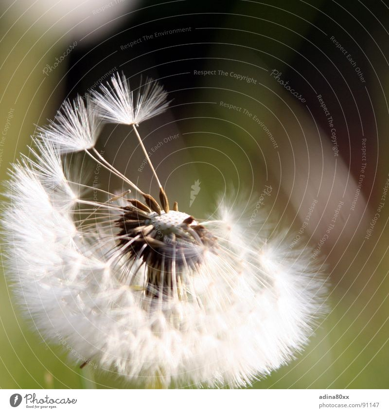 Nature Green Summer Flower Sadness Spring Movement Lanes & trails Freedom Flying Fresh Wind Transience Grief Seed Dandelion