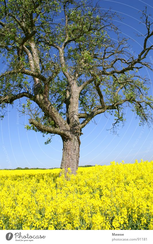 Tree in rape Canola Yellow Green Tree bark Agriculture Landscape Spring Spring fever Field Blue Branch Exterior shot