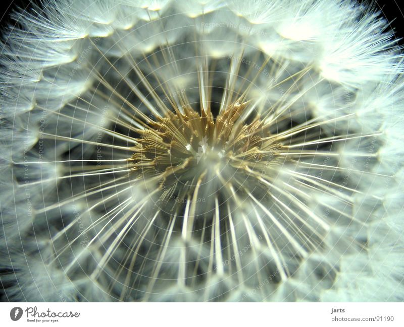 dandelion Dandelion Flower Fine Easy Meadow Macro (Extreme close-up) Close-up Flying Nature jarts