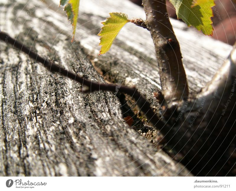 cross-border commuters Tree Wood Leaf Roof Green Tree bark Desire Ambitious Obstinate Macro (Extreme close-up) Close-up Power Force brick Root Exotic