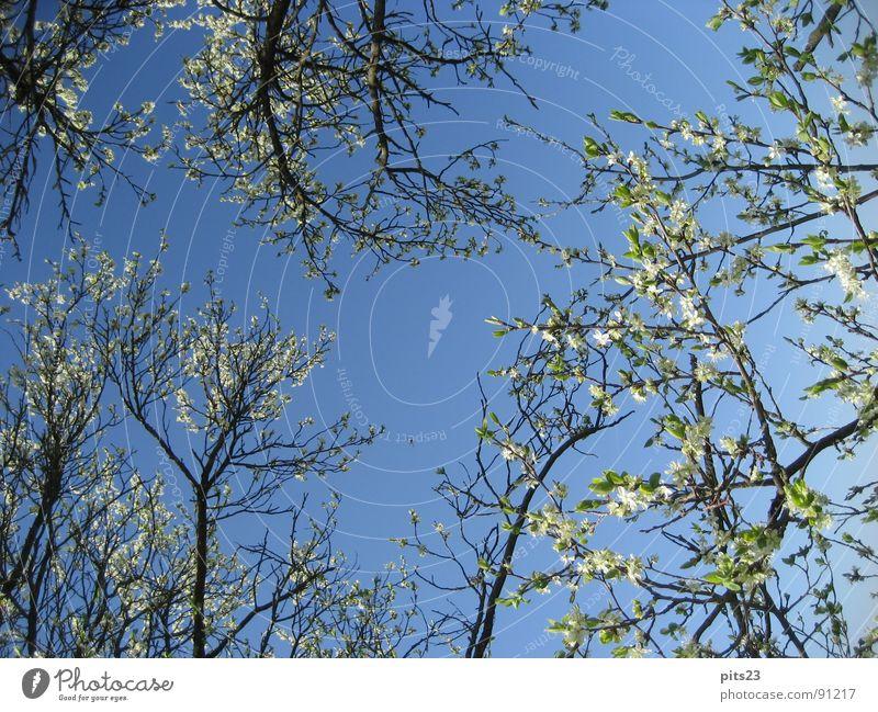 spring Spring Tree Blossom Tree bark Branch Sky Blue Multiple