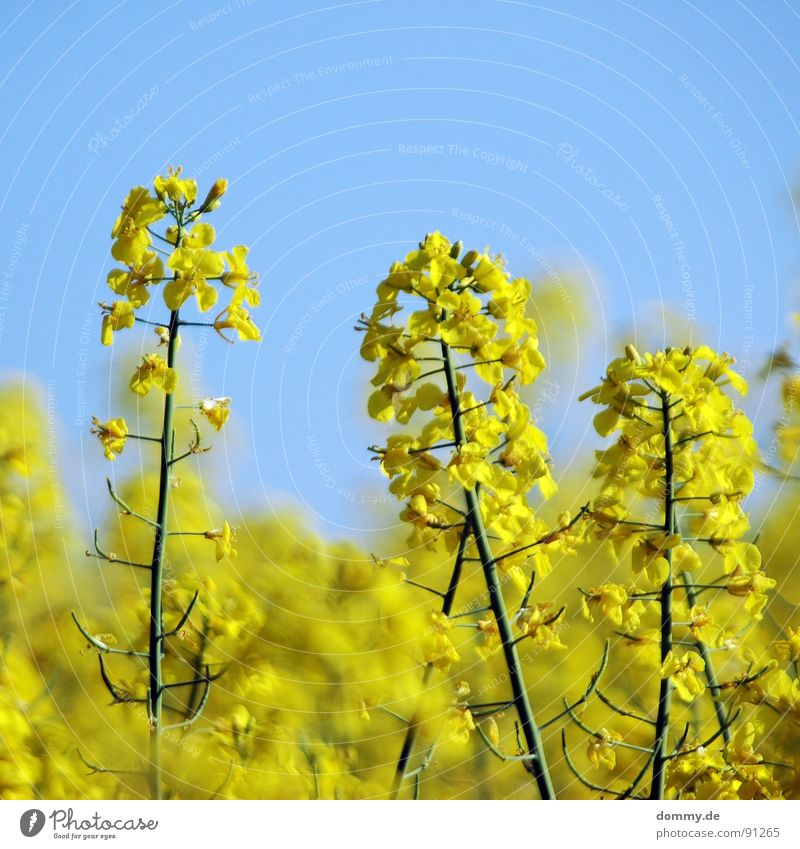 R - A - P - S Canola Yellow Summer Physics Blossom Blur Depth of field Beautiful Summery Growth Field Höchberg Würzburg Sky Beautiful weather Warmth