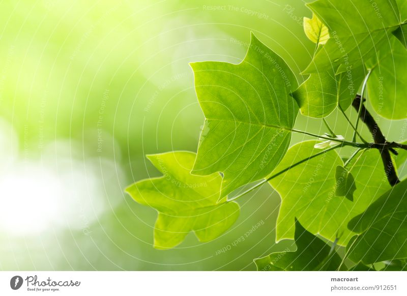 Tulip Tree - Liriodendron Tulipifera tulip tree Liriodendron tulipifera Deciduous tree Leaf Spring Summer Branch Twig Green Blur Nature Natural Plant Forest
