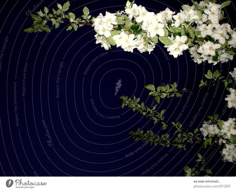 Beautiful White Tree Green Plant Black Dark Blossom Garden Park Sleep