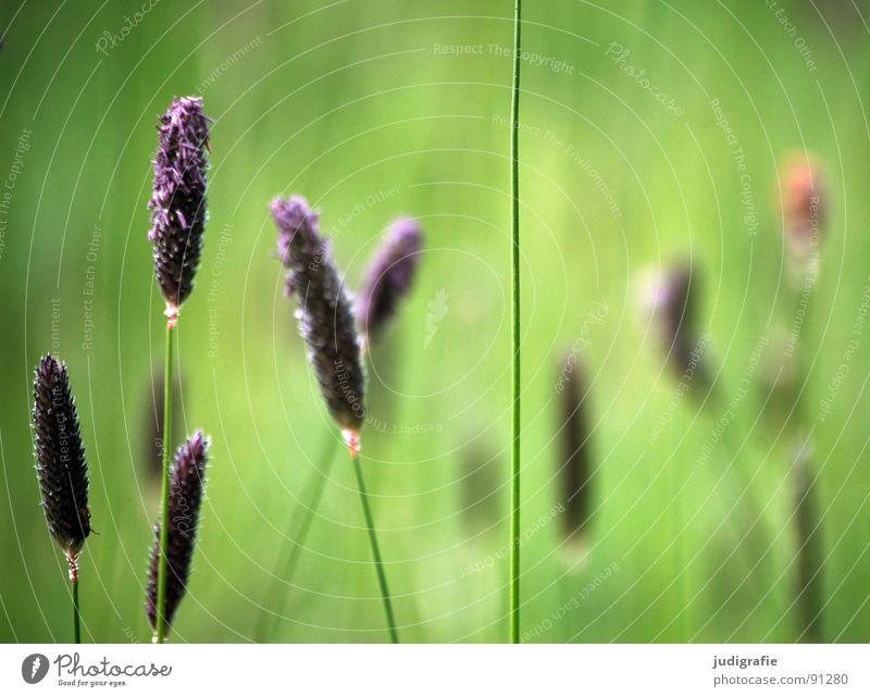 grass Grass Green Violet Stalk Blade of grass Ear of corn Glittering Beautiful Soft Hissing Meadow Delicate Flexible Sensitive Pennate Summer Peace Blue Pollen