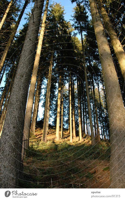 celestial fir trees Forest Tree Evening sun Blue-green Juicy Undergrowth Deer Roe deer Wilderness Friendliness Contentment Wood Coniferous trees Spruce Fir tree