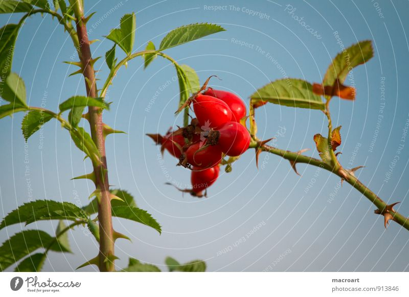 rose hips Dog rose Rose hip Wild rose Blossom Berries Fruit Twig Bushes Plant Red Sky Blue